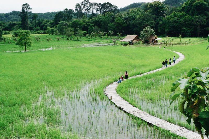 สะพานทุ่งนามุ้ย สะพานไม้ที่ทอดตัวยาวไปในทุ่งนาเขียวขจี ท่ามกลางบรรยากาศแบบบ้านทุ่ง