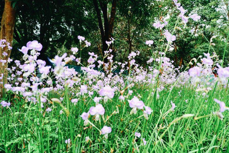 ทุ่งดอกหงอนหนาคดอกไม้สีม่วงอ่อนสวยที่เริ่มบานสะพรั่ง ชูช่ออวดความงามตั้งแต่เดือน ก.ย.นี้ ยาวไปจนถึงช่วงฤดูหนาว