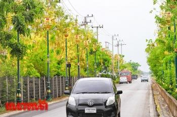 งามตา!ถนนดอกคูณหน้าเทศบาลต.ธัญบุรี เหลืองอร่ามตลอดสองข้างทาง