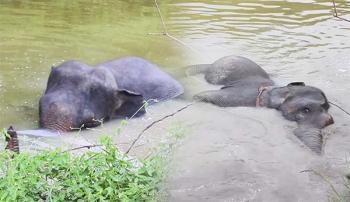 สดชื่น!!ช้างป่า\'พลายสีดอแก้ว\' ลงเล่นน้ำสระชาวบ้านคลายร้อน