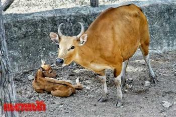 \'สวนสัตว์เชียงใหม่\'ต้อนรับสมาชิก\'ลูกวัวแดง\' เกิดวันมงคลเข้าพรรษา-นทท.ชมความน่ารัก (ประมวลภาพ)