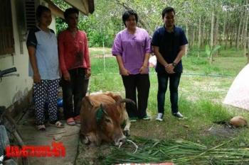 ปศุสัตว์รุดช่วยแม่วัวถูกตัดหู ซึมไม่กินอาหาร-จี้จับคนบาปลงโทษ