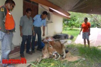 สาปแช่งคนใจบาปตัดหูแม่วัวขาดวิ่น หวั่นแผลติดเชื้อ-ตร.ส่งหลักฐานพิสูจน์