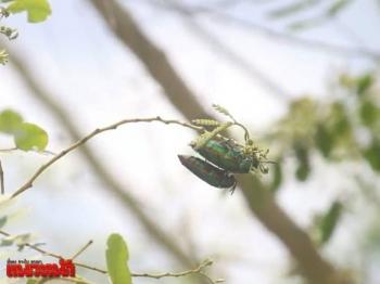 ตื่นตา!พบ\'แมลงทับ\'นับพันตัว เกาะไม้เบญจพรรณในไร่พัทยา