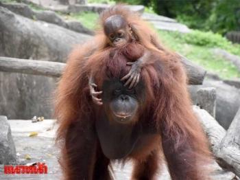 สวนสัตว์เปิดเขาเขียวอวดโฉมสมาชิกใหม่ \'ลูกอุรังอุตัง\'แห่งเกาะเบอร์เนียว