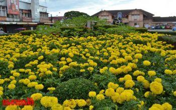 เมืองพิษณุโลกดอกดาวเรืองชูช่อบานสะพรั่งงดงาม