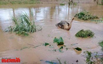 เร่งช่วยลูกช้างถูกน้ำป่าพัดตกคลองเขตอุทยานทุ่งแสลงหลวง