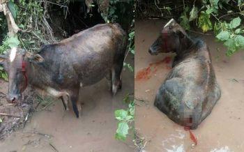 แม่วัวโชคร้ายหากินริมป่า ฝูงหมาไนรุมกัดกินนอนหายใจรวยริน