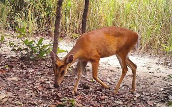 คืนชีวิตสัตว์ป่าสู่ทุ่งกบาลกระไบชายแดนไทยกัมพูชา