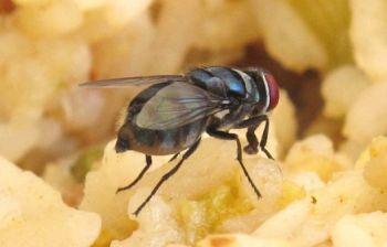 Health News : แมลงวันเป็นพาหะแบคทีเรีย 600 ชนิด