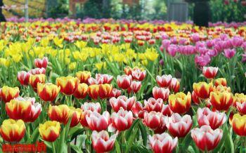 ตื่นตา! ทิวลิปนับหมื่นดอก-การแสดงพลุสุดอลังการที่อุทยานราชพฤกษ์เชียงใหม่