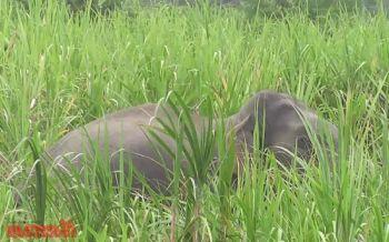 ช้างพลายสีดอหลงโขลงบุกกินพืชสวนชาวบ้าน จนท.เร่งหาทางไล่กลับป่า