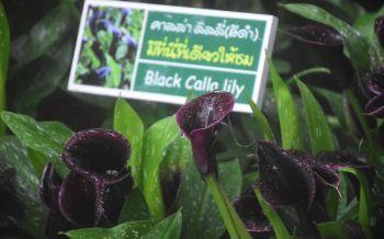 ยลโยมดอกคาลล่าลิลลี่สีดำในงานเชียงรายดอกไม้งามเมืองหนาวนานาพันธุ์