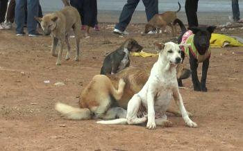 บุรีรัมย์ออกเทศบัญญัติคุมสุนัขจรจัด เอาผิดคนแอบปล่อยทิ้งละเลย