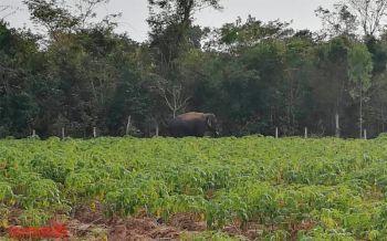 ชาวบ้านผวา! ช้างป่าดงใหญ่ออกหากินทำลายพืชไร่-ล้มเสาปูนลวดหนาม