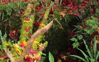 สัมผัสลมหนาวอุทยานฯภูหลวง เที่ยวชมใบเมเปิลร่วงแดงอร่ามสวยงาม