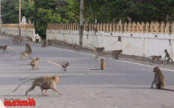 ชัยนาทเย็นจัด! ลิงนับพันแห่ลงจากยอดไม้หนีหนาวนั่งอาบแดดกลางถนน
