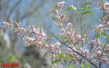 \'ซากุระเขางู\'เริ่มออกดอกสวยงาม นทท.แห่เซลฟี่1ปีมีครั้งเดียว