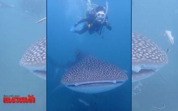 แหวกว่ายโชว์ตัว! นักท่องเที่ยวตื่นเต้นเจอ\'ปลาฉลามวาฬ\'ยาว5เมตรที่เกาะมันนอก