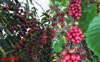 \'กาแฟ\'พืชเศรษฐกิจน่าจับตามอง ส่งเสริมเกษตรกรสุรินทร์-รายได้มั่นคงครึ่งแสน/ไร่