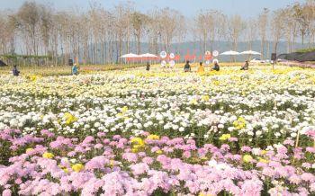 วังน้ำเขียวจัดงานดอกเบญจมาศบานในม่านหมอก ต้อนรับเทศกาลแห่งความรัก