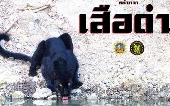 'นักล่า-สายลับแห่งพงไพร'…รู้จัก'เสือดำ'สัตว์เสี่ยงสูญพันธุ์ของโลก
