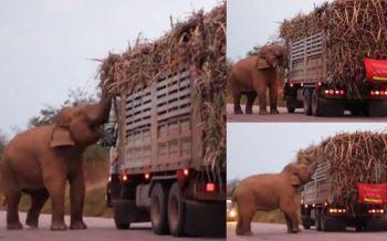 ช้างป่าแสนรู้ \'พี่ด้วน\'ขวางทาง\'รถบรรทุกอ้อย\'ดักรอเก็บส่วย