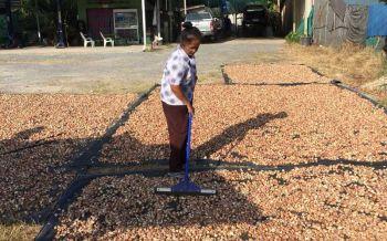 ชาวสวนยางเมืองคอนเจ๋ง ปลูก'หมาก'แซมต้นยางเพิ่มรายได้