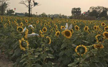 สุรินทร์ท่องเที่ยวเชิงเกษตรเซลฟี่ทุ่งทานตะวันยิ้มบ้านระไซร์
