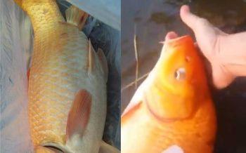 สาธุรัวๆ! ครูสาวใจบุญเจอปลาท้องโตหน้าเขียงปลา รีบนำไปปล่อยหนองน้ำช่วยชีวิต (ชมคลิป)
