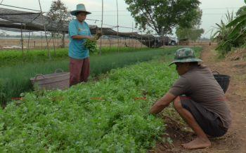 ชาวโคกสะอาดพลิกวิกฤตเป็นโอกาส หน้าแล้งหันปลูกผักสวนครัวอายุสั้นขายสร้างรายได้