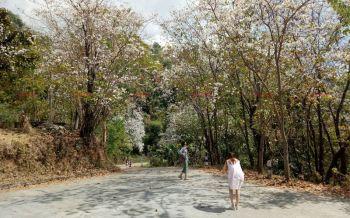 นทท.แห่เก็บภาพประทับใจ\'ดอกเสี้ยวป่า\'ขาว-ชมพูบานสะพรั่งสวยงามกลางหุบเขา
