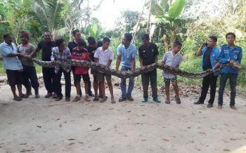 ขนหัวลุก! ชมคลิปนาทีจับ \'งูเหลือม\' ยาว 6 เมตร หนักกว่าร้อยโล