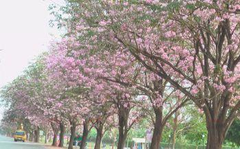 สวยงาม! \'ชมพูพันธุ์ทิพย์\'กว่าพันต้นออกดอกสีชมพูฟรุ้งฟริ้งที่กำแพงแสน