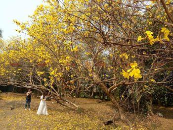 ดอกเหลืองอินเดียบานสะพรั่งกลางเมืองลำปาง ปชช.แห่ถ่ายภาพความสวยงาม
