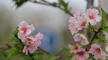 นทท.แห่ถ่ายภาพซากุระบานสะพรั่งที่ศาลากลางเชียงราย