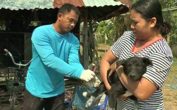 บุรีรัมย์วัวตายไร้สาเหตุหวั่นติดเชื้อพิษสุนัขบ้า แยกคอกดูอาการ/ปูพรมฉีดวัคซีน