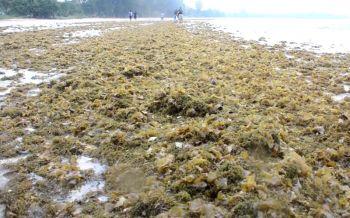 ห่วงกระทบระบบนิเวศน์! ชุมพรพบสาหร่ายปะการัง-ปลิงทะเลคลื่นซัดเกลื่อนหาด