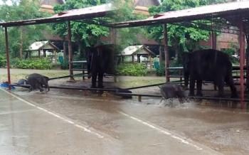 13มีนา\'วันช้างไทย\' พาไปอมยิ้มกับลูกช้างเล่นน้ำฝน ดูซุกซนเหมือนเด็กน้อย (ชมคลิป)