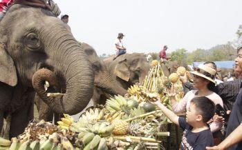 เชียงรายเลี้ยงขันโตกผลไม้ให้ช้างคึกคักเนื่องในวันช้างไทย (ประมวลภาพ)