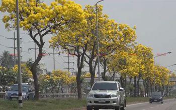 \'ต้นเหลืองปรีดียาธร\'บานสะพรั่งเหลืองอร่ามเต็มถนนมิตรภาพโคราช