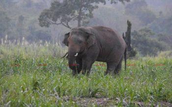 \'เจ้างาบิน\'ช้างป่าอารมณ์ดี ออกจากป่าเดินหักกล้วยชาวบ้านกินล้มระนาว