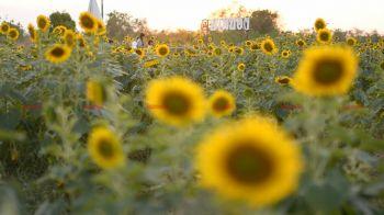 นักท่องเที่ยวแห่แชะภาพทุ่งดอกทานตะวัน ชมพระอาทิตย์ลับขอบฟ้าที่ราชบุรี