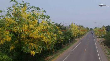 บุรีรัมย์ตื่นตา! ดอกคูณเหลืองอร่ามสวยงามสองฝั่งถนนกว่า2กม.รับช่วงสงกรานต์