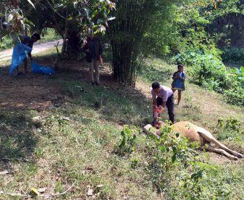แม่วัวท้องแก่ติดพิษสุนัขบ้าตาย ชาวบ้านผวาจี้ จนท.เร่งฉีดยาป้องกันก่อนระบาดหนัก (ชมคลิป)