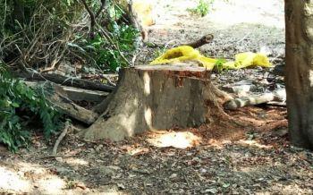 คนร้ายลอบตัด\'ไม้พะยูง\'อายุกว่า120ปี