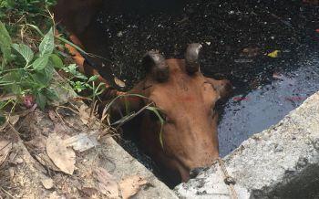 กู้ภัยเร่งช่วยแม่วัวท้องแก่พลัดตกบ่อบำบัดน้ำเสีย ใช้เวลากว่าครึ่งชม.จึงช่วยได้สำเร็จ