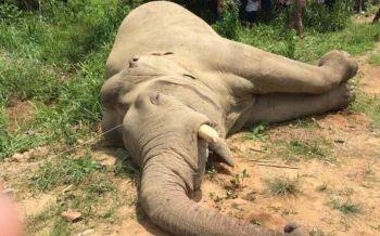 รองนายกฯหนองปรือมอบตัว ปัดสั่งขึงลวดไฟฟ้าฆ่า'ช้างหางด้วน งาเดียว'