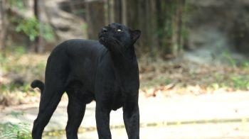 'กบนอกกะลา' ตอน เสือดำ หัวใจแห่งผืนป่า