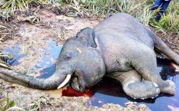 สลด!'ช้างป่ากุยบุรี'ตายปริศนากลางไร่สับปะรด ไม่ชัดช้างร่วมโขลงหรือมนุษย์ฆ่า
